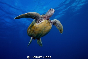 Hawaiian Green sea turtle floating upwards to the surface. by Stuart Ganz 